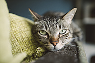 Portrait of tabby cat relaxing on the backrest of a couch - RAEF001234
