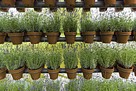 Lavender in flower pots, row - KLRF000395