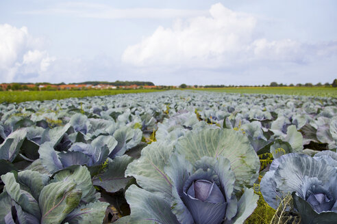 Field of red cabbage - KLRF000404