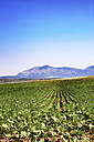 Spain, Andalusia, field of young sunflowers, crops - SMAF000472