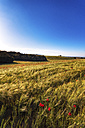 Spain, Andalusia, field of barley with poppies - SMAF000475