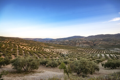 Spain, Andalusia, Hills and olive groves - SMAF000487