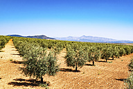 Spain, Andalusia, Olive plantation in spring - SMAF000490