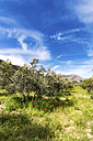 Spain, Andalusia, Olive plantation in spring - SMAF000493