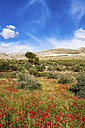 Spain, Andalusia, Olive grove, olive trees and poppies in spring - SMAF000499