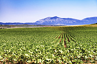 Spain, Andalusia, field of young sunflowers, crop - SMAF000511