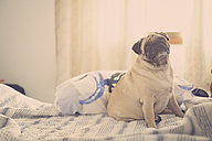 Pug sitting on bed looking up - SIPF000564