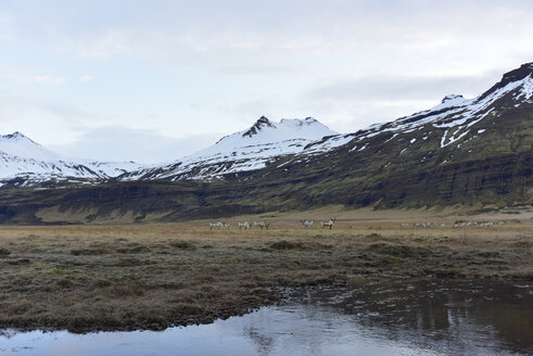 Iceland, South Iceland, herd of reindeers - FDF000193