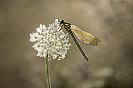 Female banded demoiselle on white blossom - MJOF001212