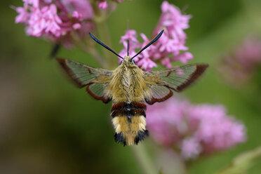 Broad-bordered Bee Hawk-moth - MJOF001213