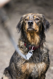 Portrait of wet mongrel - MIDF000757