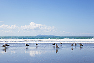 New Zealand, North Island, Coromandel region, Waihi Beach, Southern black-backed seagulls, Dominican gull, Larus dominicanus - GWF004844