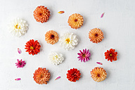 Blossoms of different dahlias on white ground - MYF001695
