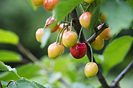 Sweet cherries on tree, ripe and unripe - MYF001702