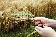 Man's hand holding ripe and unripe spike of barley - EVGF003025