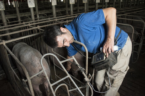 Salamanca, Spain, Pig farmer checking pregnancy of an iberian pig with an ultrasound device - ABZF000812