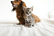 Portrait of tabby kitten sitting on bed with long-haired dachshund in the background - VABF000707