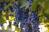 Red grapes hanging from vine - ZEF009336