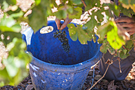Man harvesting red grapes in vineyard - ZEF009354