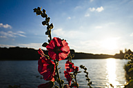 Germany, Hibiscus blossom, Deckstein pond in local recreation area near Cologne - DASF000063