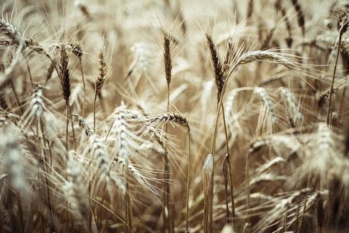 Spikes of barley field - CZF000261