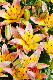 Multicolored lilies - CSF027522