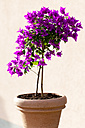 Bougainvillea in a flower pot - CSF027531
