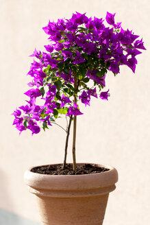 Bougainvillea in a flower pot - CSF027531