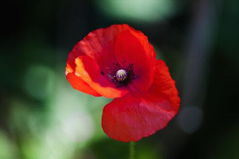 Poppy - CSF027537