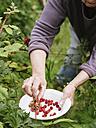 Senior woman harvesting Japanese Wineberries - HAWF000949
