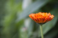 Pot Marigold, Calendula officinalis, orange blossom - MYF001728