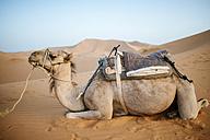 Morocco, Meknes-Tafilalet, Midelt, Merzouga, Camel in the desert Erg Chebbi. - KIJF000719