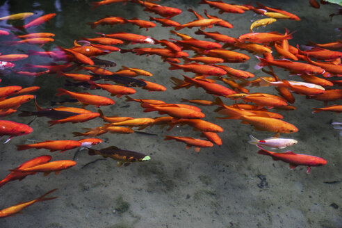Goldfishes in a pond - CHPF000254
