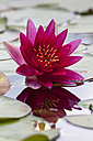 Pink water lily in a pond - WIF003346