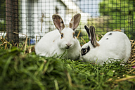 Two rabbits in a cage on a meadow - CHPF000261