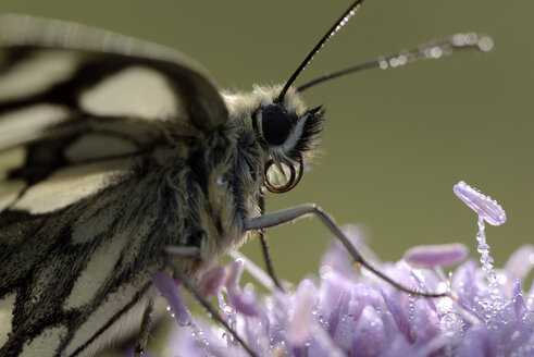 Marbled white on wet blossom - MJOF001255