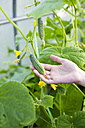 Woman's hand holding cucumber - KNTF000439