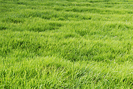 Patch of grass - CSF027657