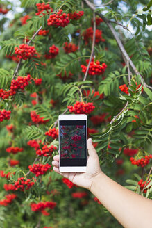 Girl with phone photographing red rowanberries - KNTF000470