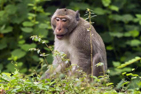 Thailand, Rhesus macaque - ZCF000397