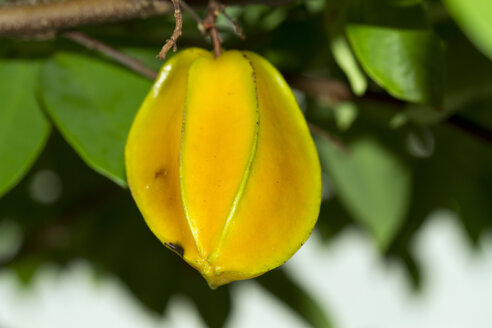 Thailand, star fruit at tree - ZCF000400