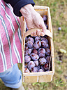 Hand of senior woman holding basket of plums - HAWF000954