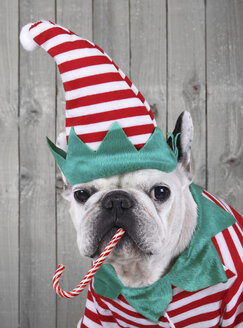 Portrait of French bulldog dressed up as Christmas elf - RTBF000271