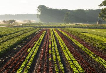 Vegetable and lettuce fields - SIEF007104
