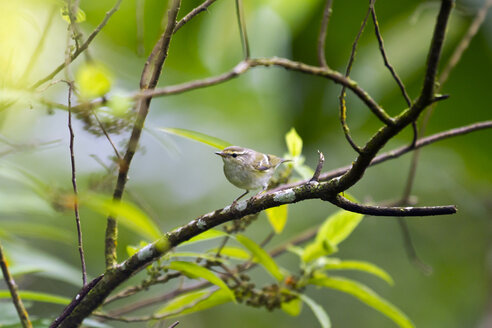 Yellow-browed warbler on a twig - ZC000413