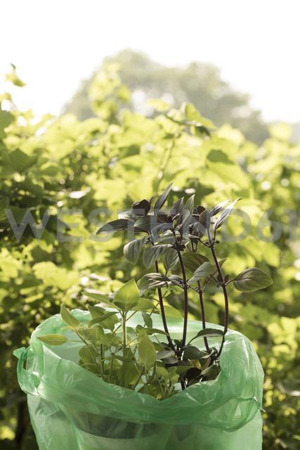 Basilikum plants ready to plant - KJF000315