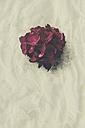 Hydrangea - DWIF000778