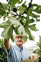 Senior man picking figs - JRFF000855