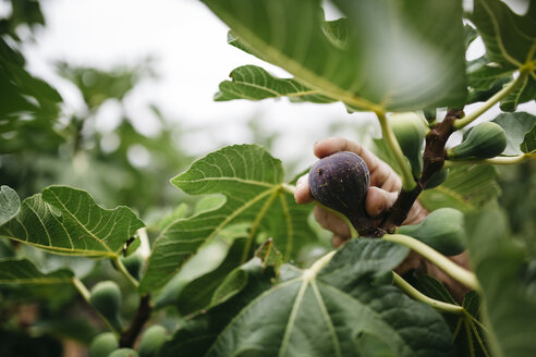 Man's hand picking fig from tree - JRFF000858