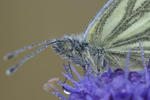 Wet Green-veined White on blossom - MJOF001269